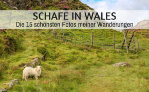 Schafe in Wales